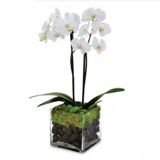 Joyful Journeys Phalaenopsis Orchid a1360